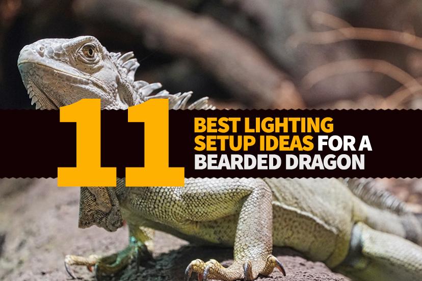 11 Best Bearded Dragon Lighting Setup Ideas Bearded Dragon Guru