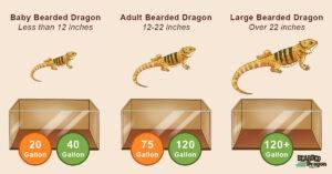 bearded dragon tank size