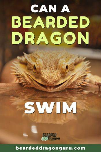 Can A Bearded Dragon Swim