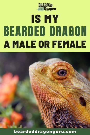 bearded dragon male or female
