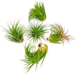 Bearded Dragon Plants