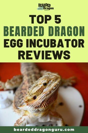 bearded dragon incubator