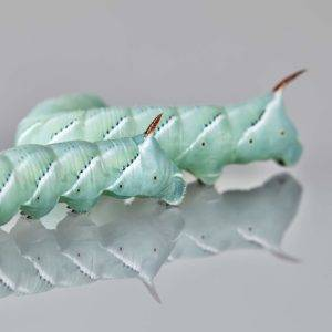 Supplies for Bearded Dragon Hornworms