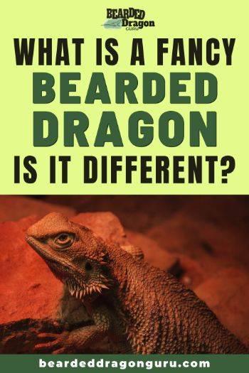 fancy bearded dragon