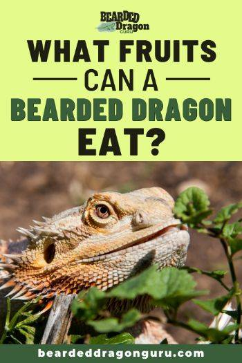 what fruits can bearded dragons eat