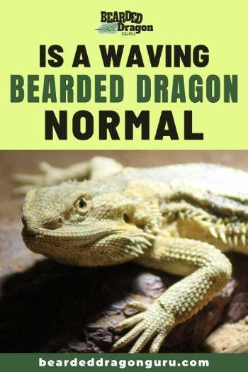 bearded dragon waving