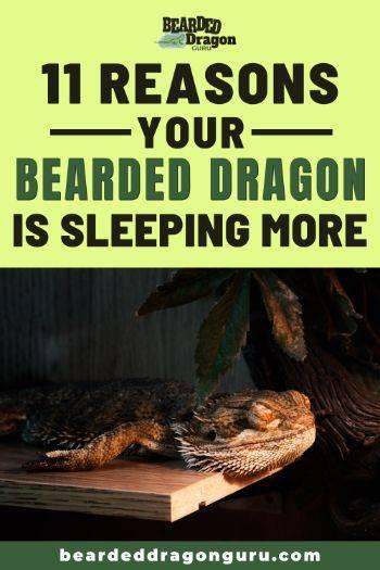 bearded dragon sleeping