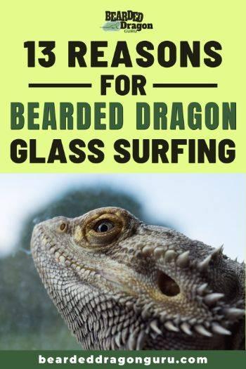 bearded dragon glass surfing