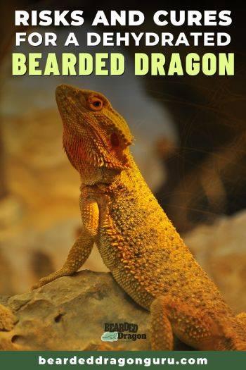 dehydrated bearded dragon