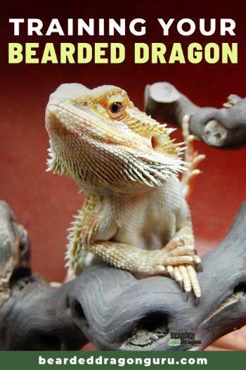 bearded dragon training