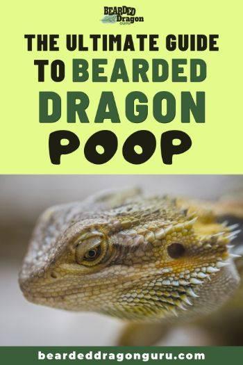 bearded dragon poop
