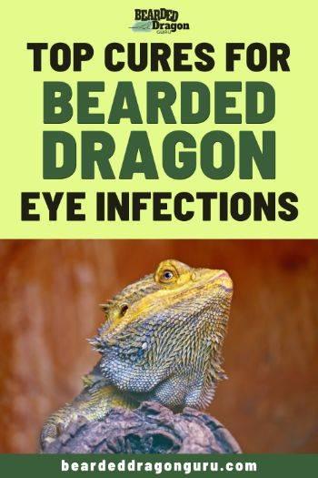 bearded dragon eye infection