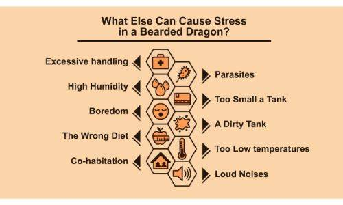 Causes of Bearded Dragon Stress
