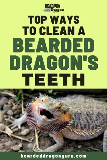 bearded dragon teeth