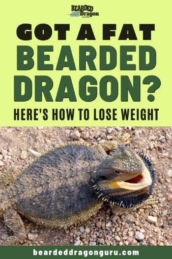 fat bearded dragon