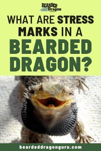 bearded dragon stress marks
