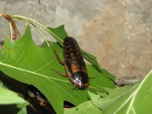 dubia roach feeder