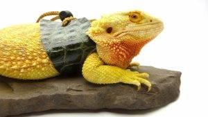 Best Bearded Dragon Collar