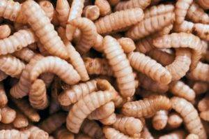 Best Worms for Bearded Dragons Black Soldier Fly Larvae