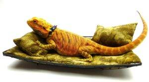 bearded dragon sofa